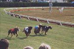 Competir do cachorro galgo